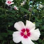 20130628 一日花のむくげが開花