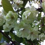2013境内桜①