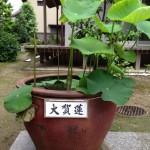 20130530 大賀蓮