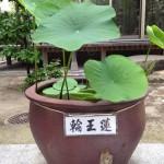 20130605 輪王蓮