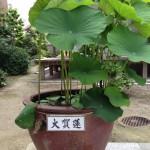 20130605 大賀蓮