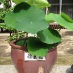 20130611 輪王蓮
