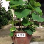 20130611 大賀蓮