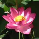 20130701 大賀蓮一輪目開花