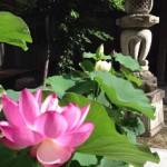 20130701 大賀蓮開花