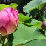 浄台蓮のつぼみ、明日には開花!