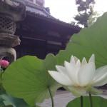 輪王蓮と本堂