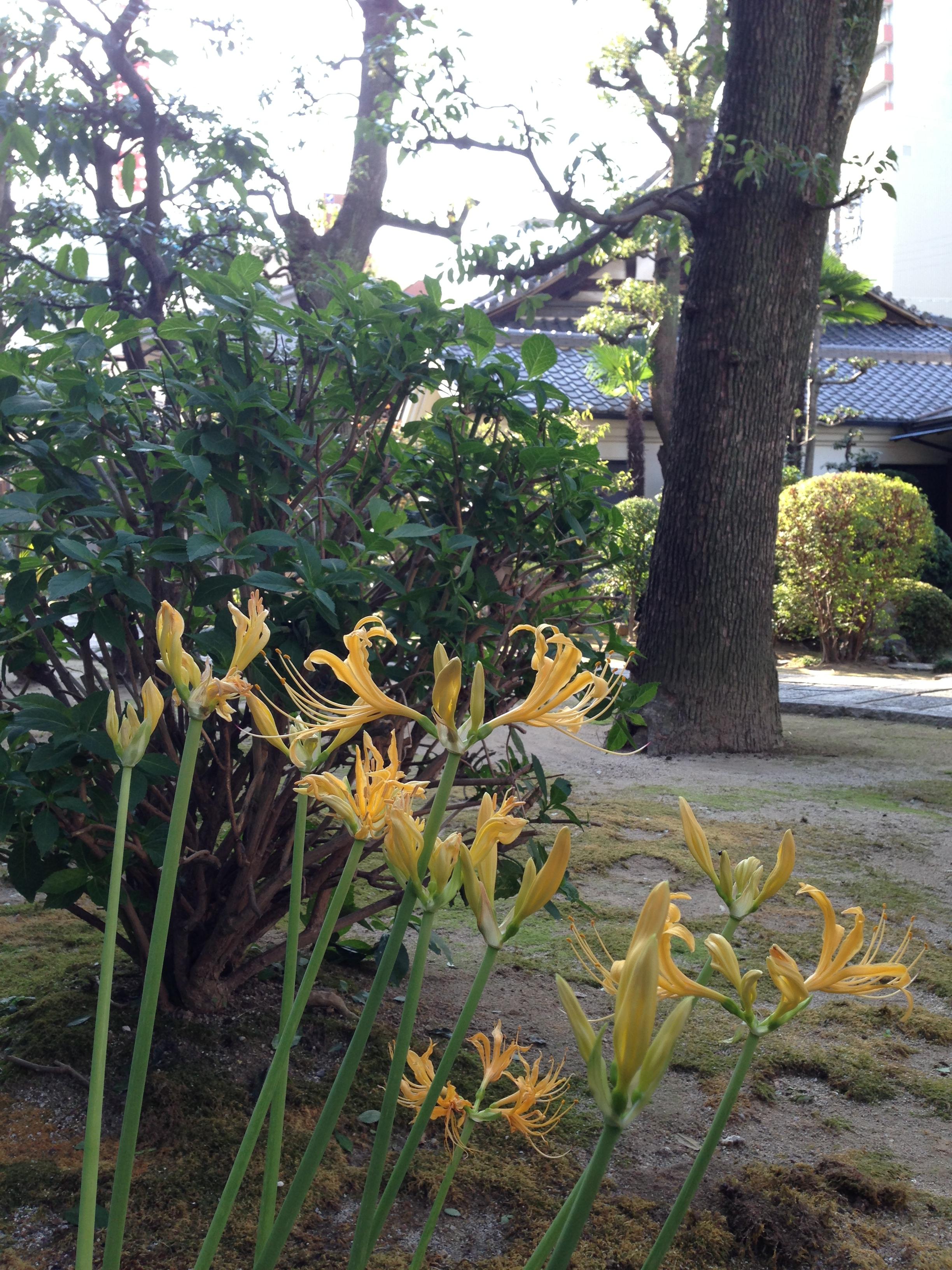 20130918 彼岸花の黄色咲く