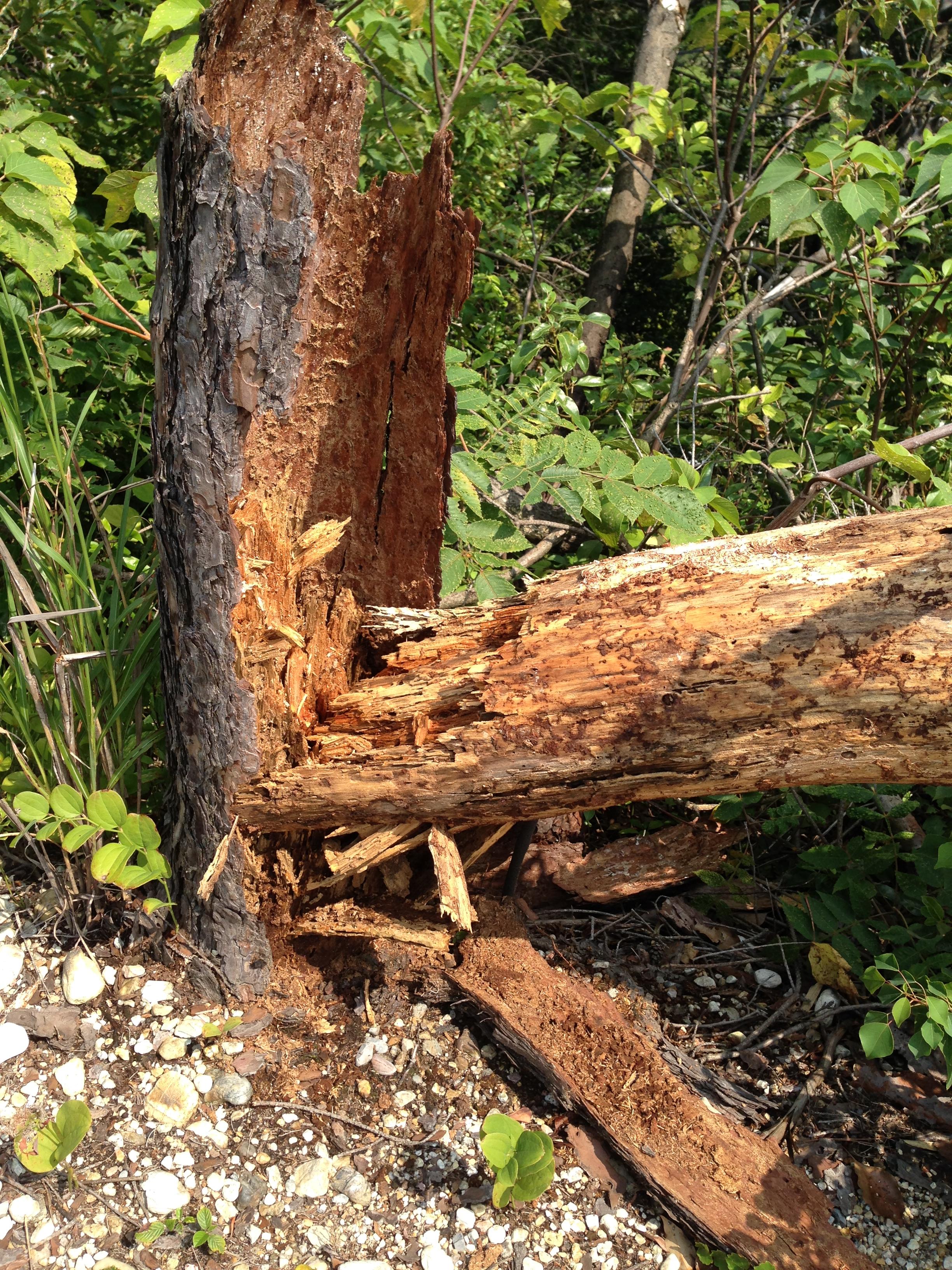 20130923 お墓の松も台風に負けました・・・