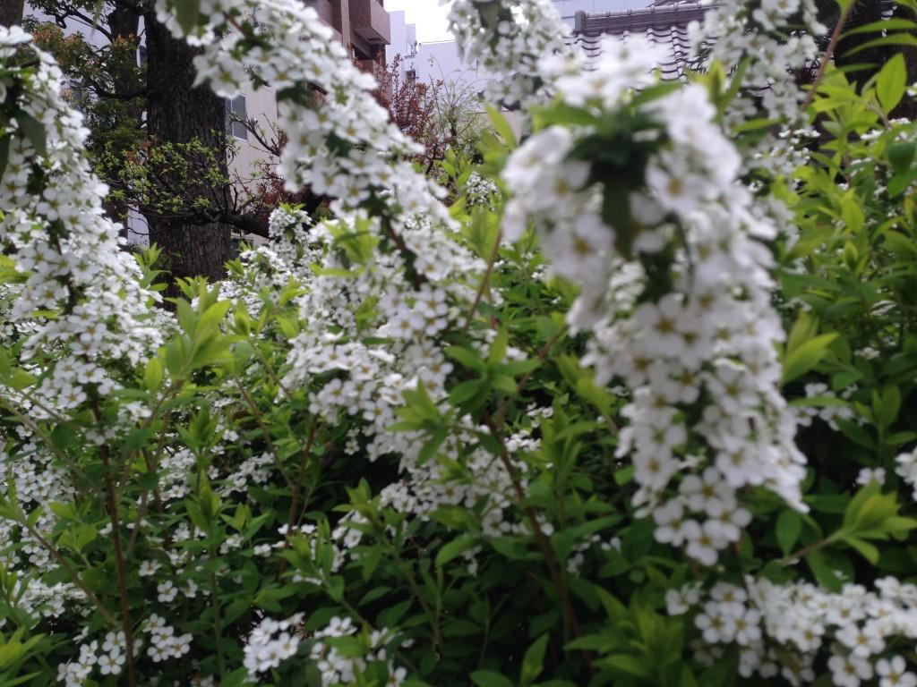 雪柳も咲き出して春を迎えます