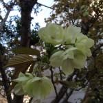 鬱金桜が咲きました!