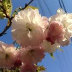 八重桜も優雅に咲き誇ります