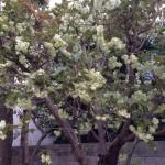 鬱金桜、満開ですよ