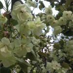 鬱金桜、珍しいです(^^ゞ