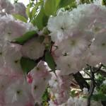 門前の八重桜も満開!